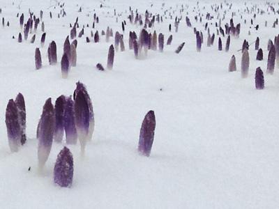 Krokusse im Schnee, halbnah