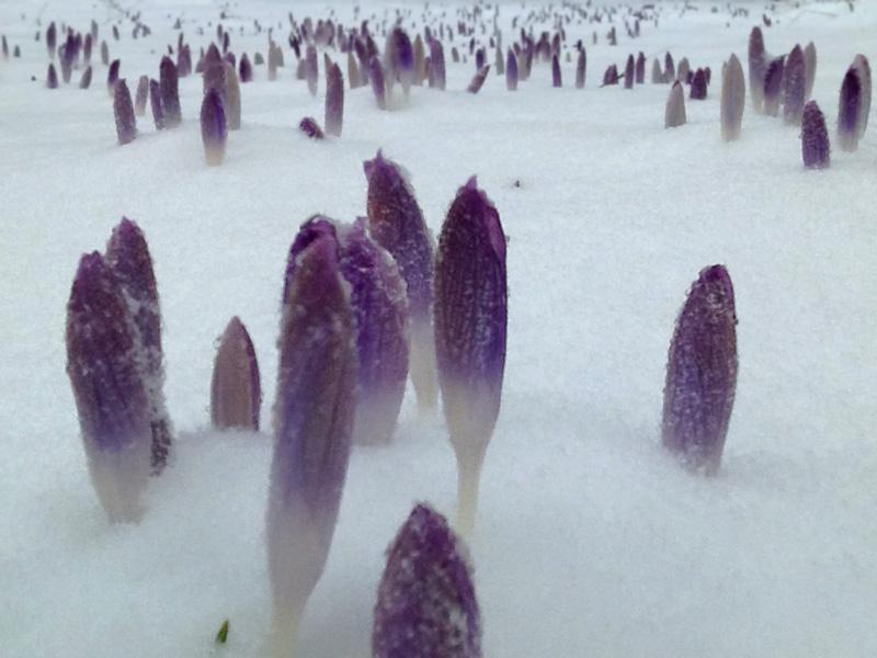 Krokusse im Schnee, nah