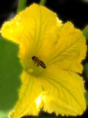 Biene im Anflug auf eine Kürbisblüte