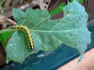 Schmetterlingsraupe auf einem angefressenen Blatt