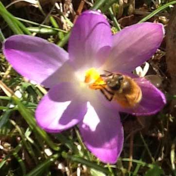 eine Biene auf einer Krokusbluete