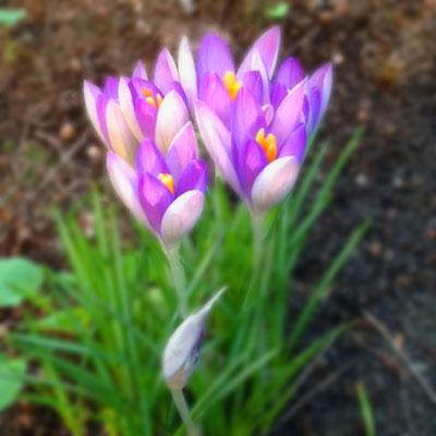 Krokusse im Garten